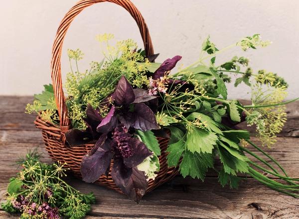 רפואת צמחים יומיום