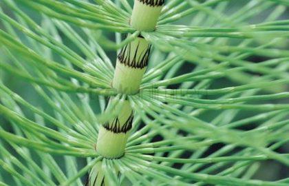 שבטבט (נוף הצמח)