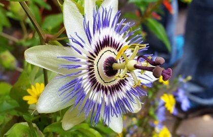 פסיפלורה – שעונית (נוף הצמח)