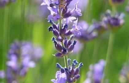 לבנדר – אזוביון רפואי (פרחים)