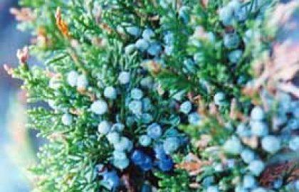 שמן אתרי ערער ענבות