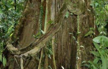 עץ השושנים