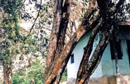 שמן אתרי עץ אלגום