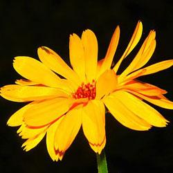 קלנדולה (פרחים)