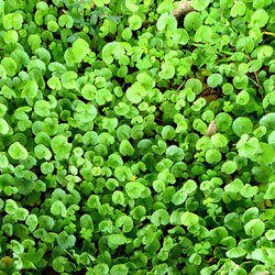 גוטה קולה (נוף הצמח)