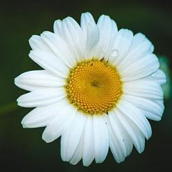 קמומיל (פרחים)